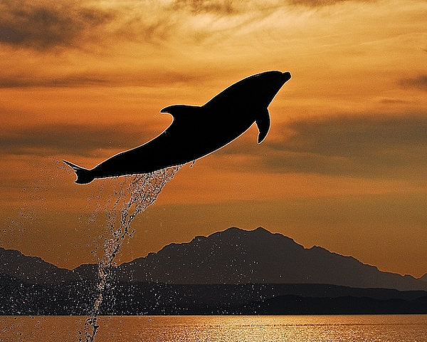 Dolphin Sunset Carman