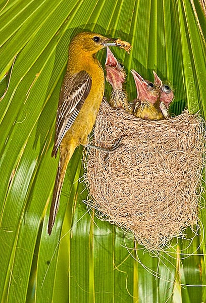 Oriole feeding chicks